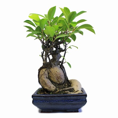 indoor zen ginseng ficus bonsai tree. Black Bedroom Furniture Sets. Home Design Ideas
